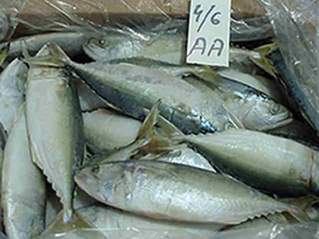 indian mackerel - indian mackerel