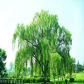 White Willow Bark Extract - plant extract