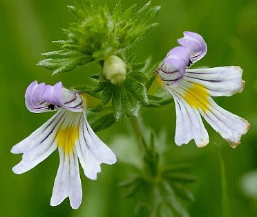 Eyebright Herb Extract - Specification: 4:1