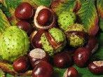 Supply Horse Chestnut Extract Powder 20% - Horse Chestnut Extract