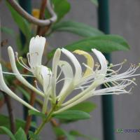 Large picture HoneySuchle Flowers P.E.,