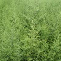 Large picture Sweet Wormwood Herb Extract