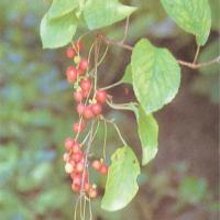 Large picture Schisandra Extract