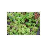 Large picture sphagnum palustre