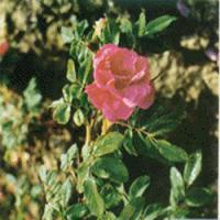 Large picture rose flower extract