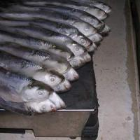 Large picture FROZEN MILKFISH