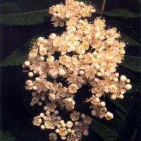 Large picture Sorbus pohuashanensis extract