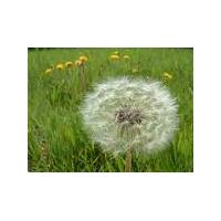 Large picture Dandelion Extract Taraxacum officinale