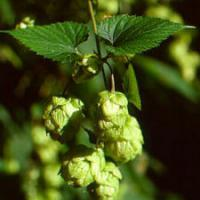 Large picture Hops Flower Extract Humulus lupulus