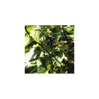 Large picture Black Currant Extract Ribes nigrum