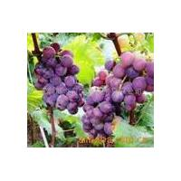 Large picture Grape Seed Extract ,Solanesol,Resveratrol