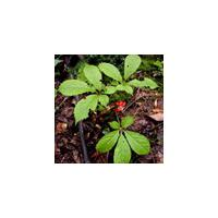 Large picture American Ginseng Extract Panax quinquefolius