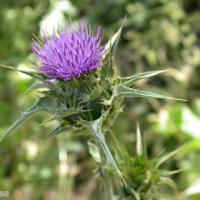 Large picture Milk Thistle Extract Silybum marianum