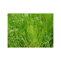 Large picture Horsetail Extract Equisetum arvense