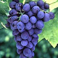 Large picture Grape Seed Extract Vitis vinifera