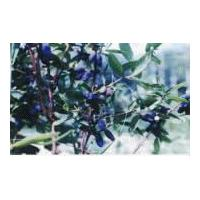 Large picture Sweetberry Anthocyanin