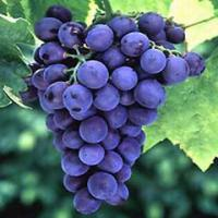 Large picture Grape seed Extract/Vitis vinifera Extract