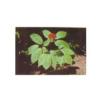 Large picture Ginseng Extract Powder/Ginsenosides
