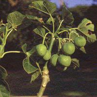 Large picture jatropha curcas seed