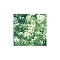 Large picture Hemlock Parsley Oil