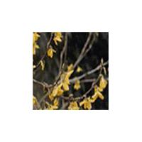 Large picture Fructus Forsythiae Oil