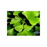 Large picture Ginkgo Leaf extract