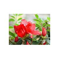 Large picture Dahurian Rhodoendron Extract