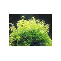 Large picture Trberculate Speranskia Herb