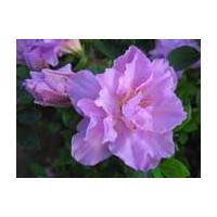Large picture rhododendron simsii extract (sales6 at lgberry)