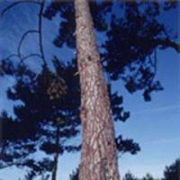 Large picture Pine bark extract, larix gmelini(sales6 at lgberry