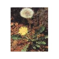 Large picture dandelion extract  (sales6 at lgberry  dot