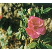 Large picture Wild rose extract