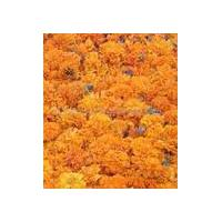 Large picture Lutein, marigold flower extract (sales6 at lgberry