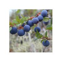 Large picture Bluberry Powder Extract 25% Anthocyanidins