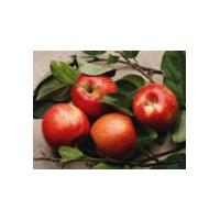 Large picture Apple Extract 60%-98%Phlorizin/30%-90%Polyphenols