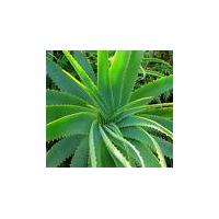 Large picture Aloe Vera Extract 100:1, 200:1, 10%-60% Barbaloin