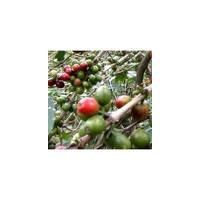 Large picture Green Caffee Bean Extract Chlorogenic Acid