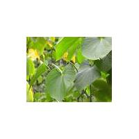 Large picture Kava Kava Extract 10%kavain/30%Kavalactone