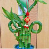 Large picture lucky bamboo bonsai