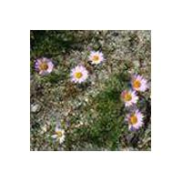 Large picture Tatarian Aster Extract