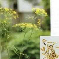 Large picture Sweet Fennel Extract