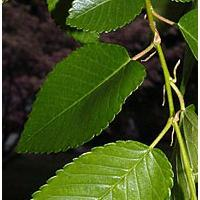 Large picture elm bark extract