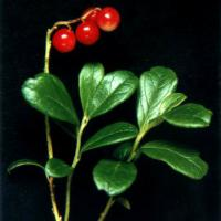 Large picture Lingonberry  extract