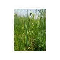Large picture Avena sativa Extract