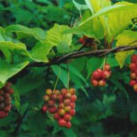 Large picture Schisandra chinensis extract