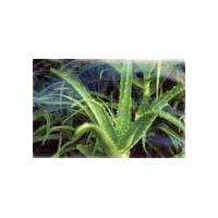 Large picture Aloe vera extract