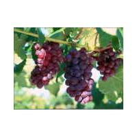 Large picture grape seed oil