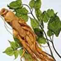Large picture Ginseng P.E.