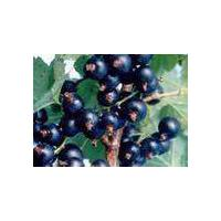 Large picture black currant powder