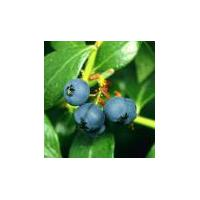Large picture blueberry concentrate (info3@sports-ingredient.com
